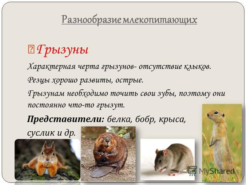 Разнообразие млекопитающих Грызуны Характерная черта грызунов- отсутствие клыков. Резцы хорошо развиты, острые. Грызунам необходимо точить свои зубы, поэтому они постоянно что-то грызут. Представители : белка, бобр, крыса, суслик и др.