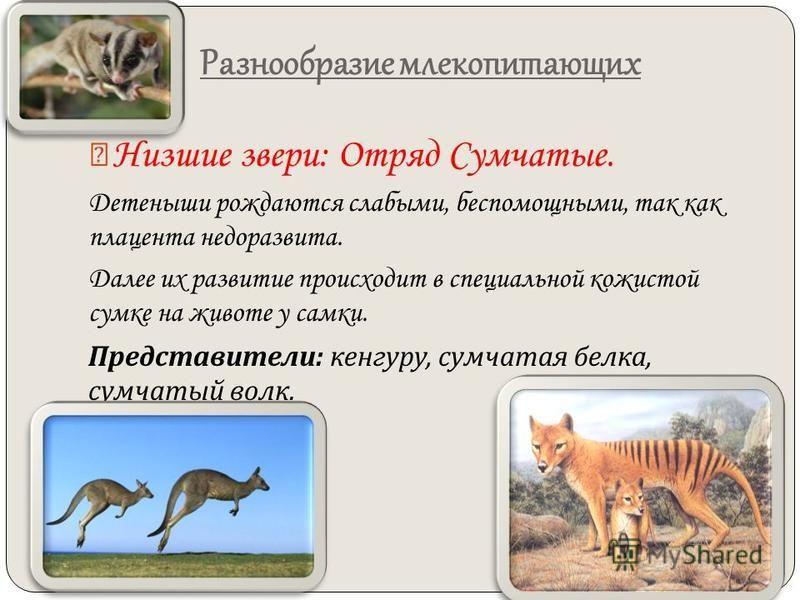 Разнообразие млекопитающих Низшие звери: Отряд Сумчатые. Детеныши рождаются слабыми, беспомощными, так как плацента недоразвита. Далее их развитие происходит в специальной кожистой сумке на животе у самки. Представители : кенгуру, сумчатая белка, сум