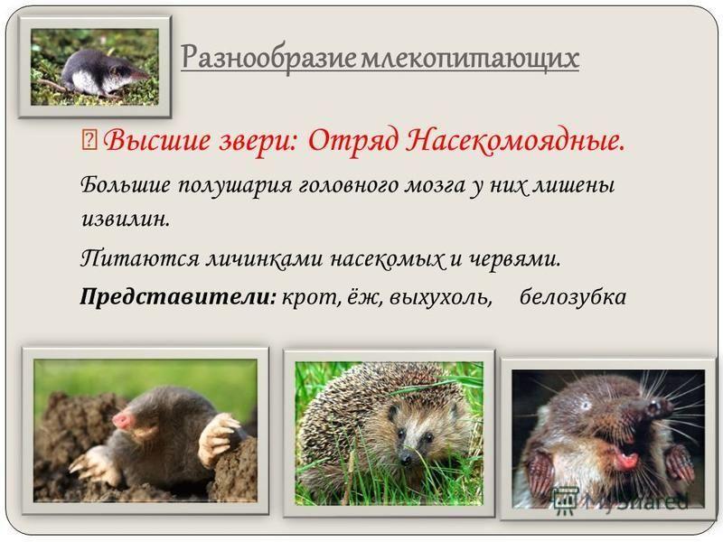Разнообразие млекопитающих Высшие звери: Отряд Насекомоядные. Большие полушария головного мозга у них лишены извилин. Питаются личинками насекомых и червями. Представители : крот, ёж, выхухоль, белозубка