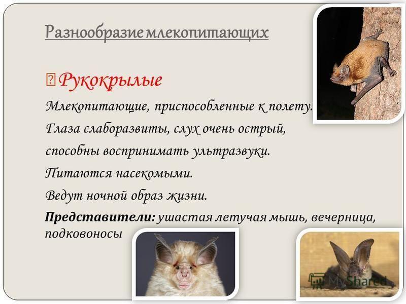 Разнообразие млекопитающих Рукокрылые Млекопитающие, приспособленные к полету. Глаза слаборазвиты, слух очень острый, способны воспринимать ультразвуки. Питаются насекомыми. Ведут ночной образ жизни. Представители : ушастая летучая мышь, вечерница, п