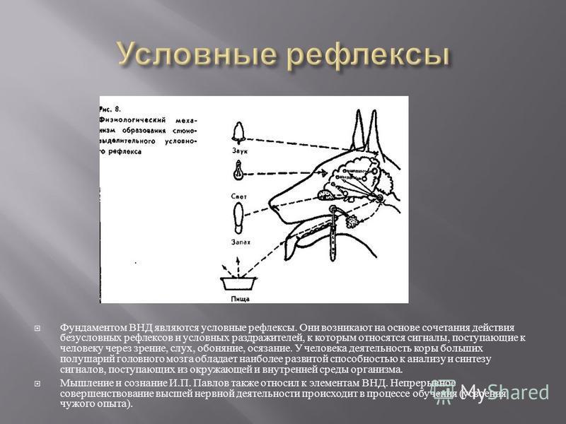 Фундаментом ВНД являются условные рефлексы. Они возникают на основе сочетания действия безусловных рефлексов и условных раздражителей, к которым относятся сигналы, поступающие к человеку через зрение, слух, обоняние, осязание. У человека деятельность